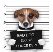 brown and white dog posing for a mugshot holding a black sign saying BAD DOG, 230573, POLICE DEPT.