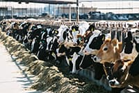 black//white/brown 15+ cows lined up in cow chutes feeding