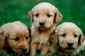 Three golden retriever puppies laying in the grass with a green background
